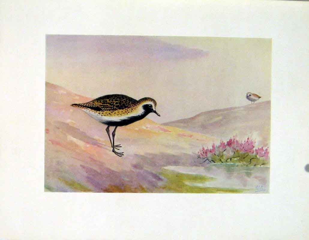 Print Fine Art C1924 Golden Plover Birds 137241 Old Original