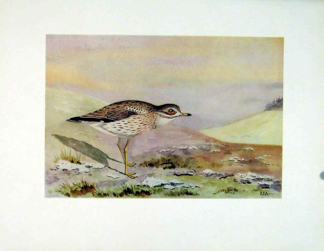 Print Stone Curlew Birds Color C1924 Art 147241 Old Original