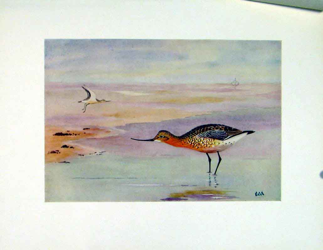Print Black Tailed Godwit Bird Duck C1924 Fine Art 197241 Old Original