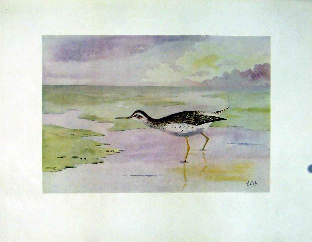 Print C1924 Wood Sandpiper Birds Color Fine Art 227241 Old Original