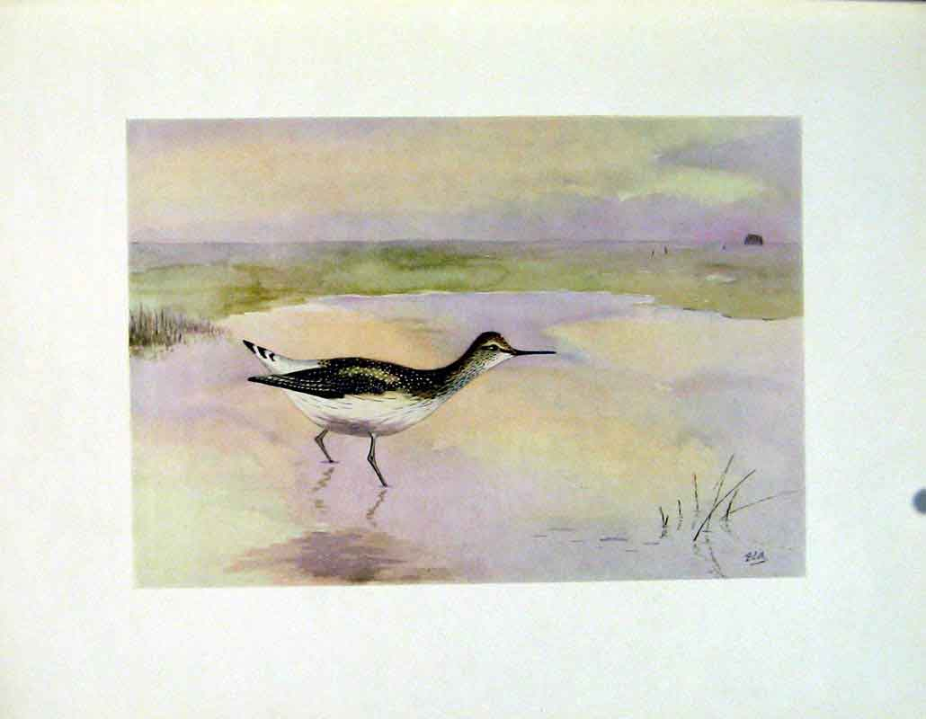 Print Fine Art Birds Sandpiper Green Color 237241 Old Original