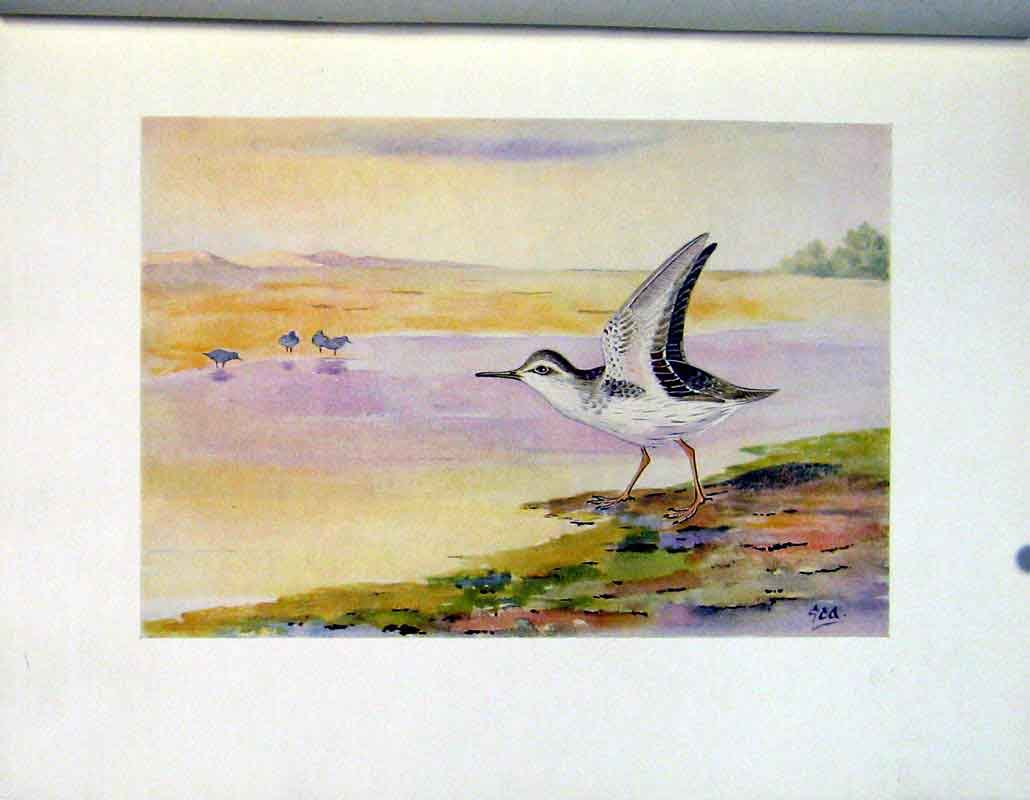 Print Spotted Sandpiper Fine Art Birds C1924 Color 257241 Old Original