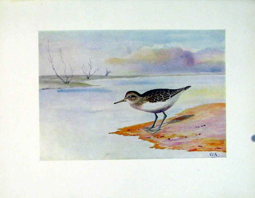 Print Color C1924 Common Sandpiper Birds Fine Art 267241 Old Original