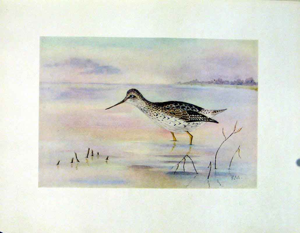 Print Fine Art C1924 Bird Yellowshanks Color Water 297241 Old Original