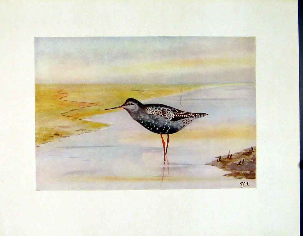 Print Spotted Redshank Birds Color Fine Art C1924 307241 Old Original