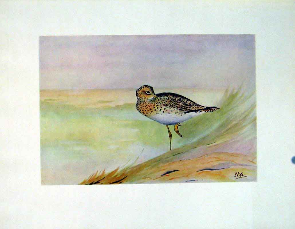 Print C1924 Bartrams Sandpiper Color Birds Fine Art 327241 Old Original