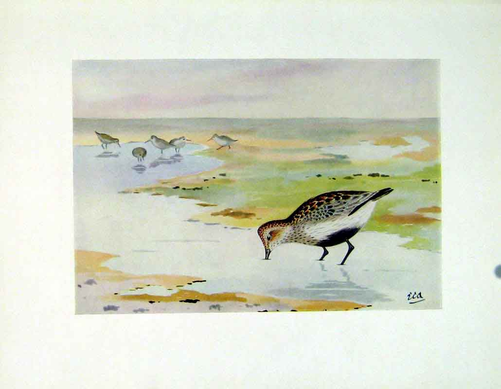 Print Dunlin Bird Fine Art Color Water Lake Feeding 192 387241 Old Original