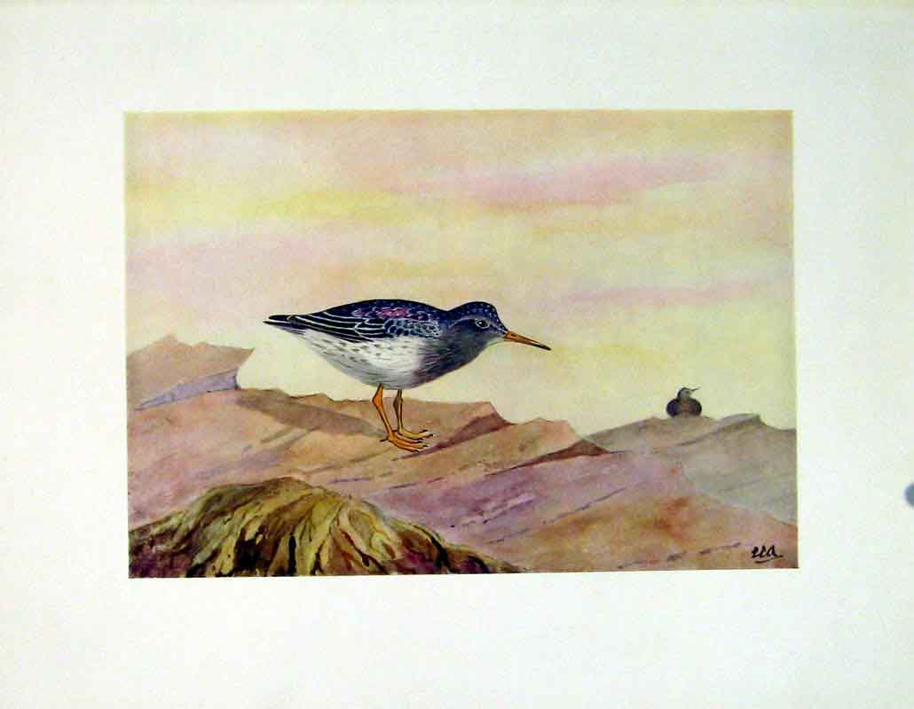 Print Purple Sandpiper Fine Art C1924 Birds 397241 Old Original