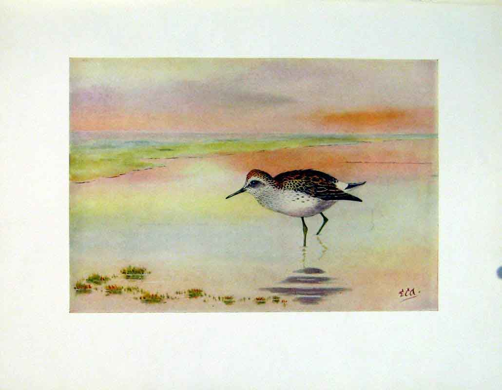 Print Color Bird Fine Art Bonapartes Sandpipe C1924 407241 Old Original