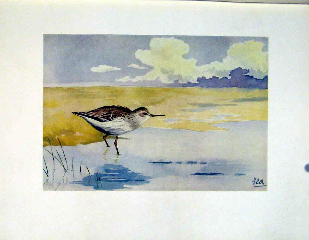 Print Fine Art C1924 Temmincks Stint Birds 447241 Old Original