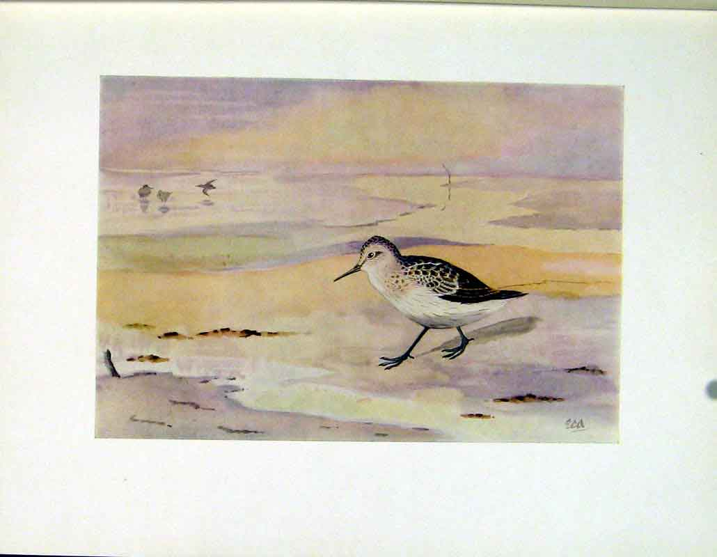 Print Little Stint Color Bird Art C1924 467241 Old Original