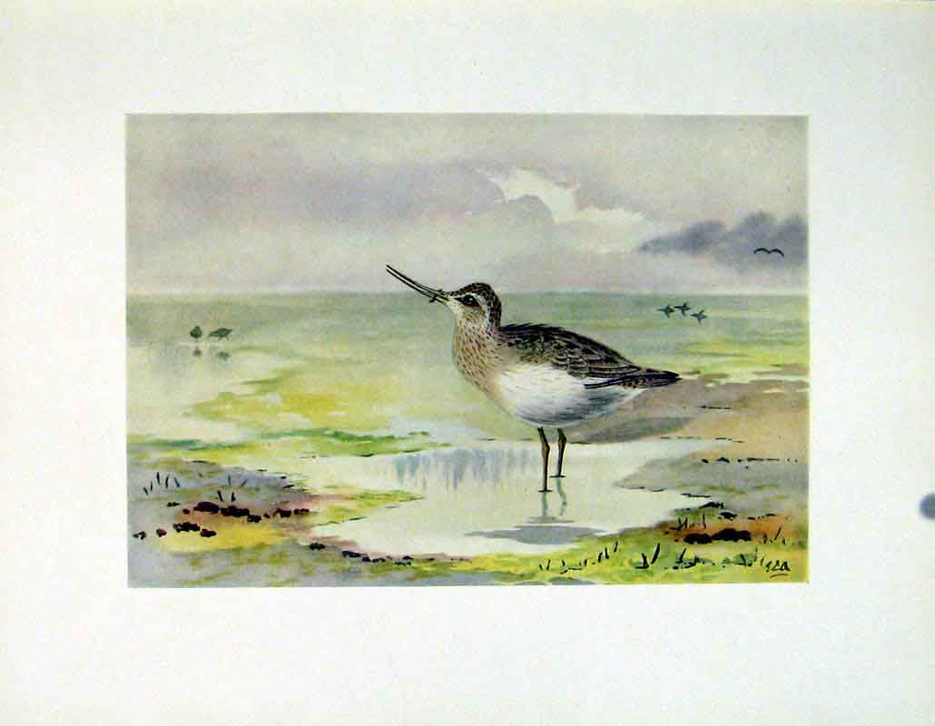 Print Terek Sandpiper Color Bird Fine Art C1924 487241 Old Original
