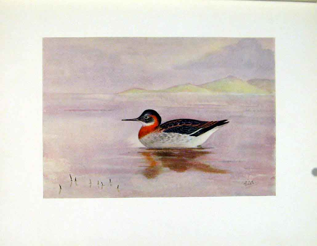 Print Fine Art Bird Color Red Necked Halarope C1924 507241 Old Original