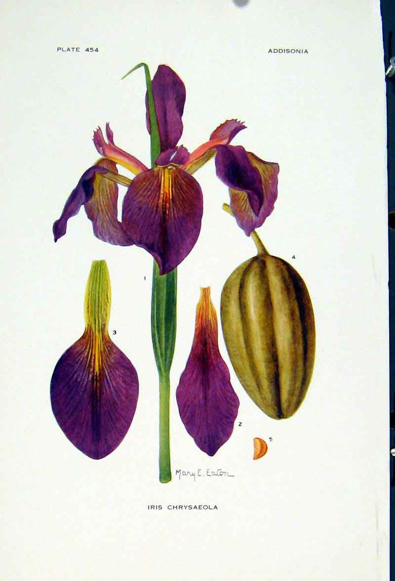 Print Iris Chrysaeola Fine Art C1929 Color Flower 037251 Old Original
