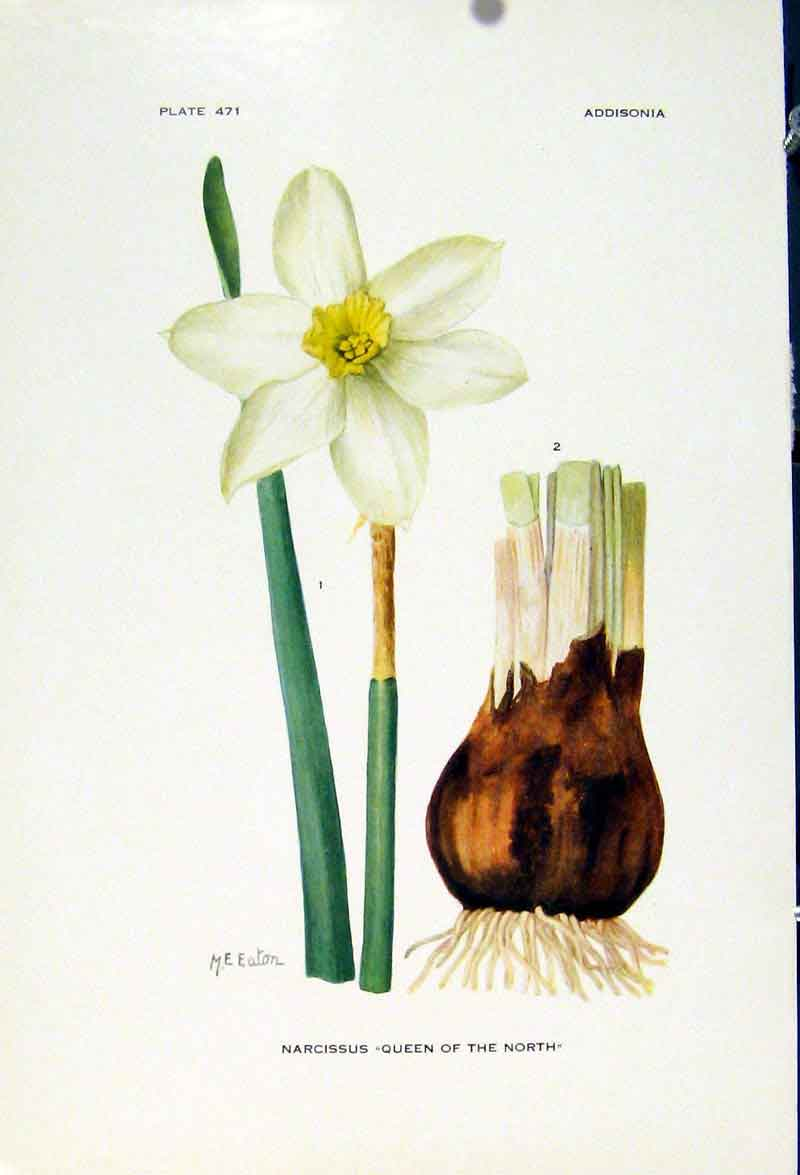 Print Narcissus Queen Of The North Flower Plant C1929  Old Original