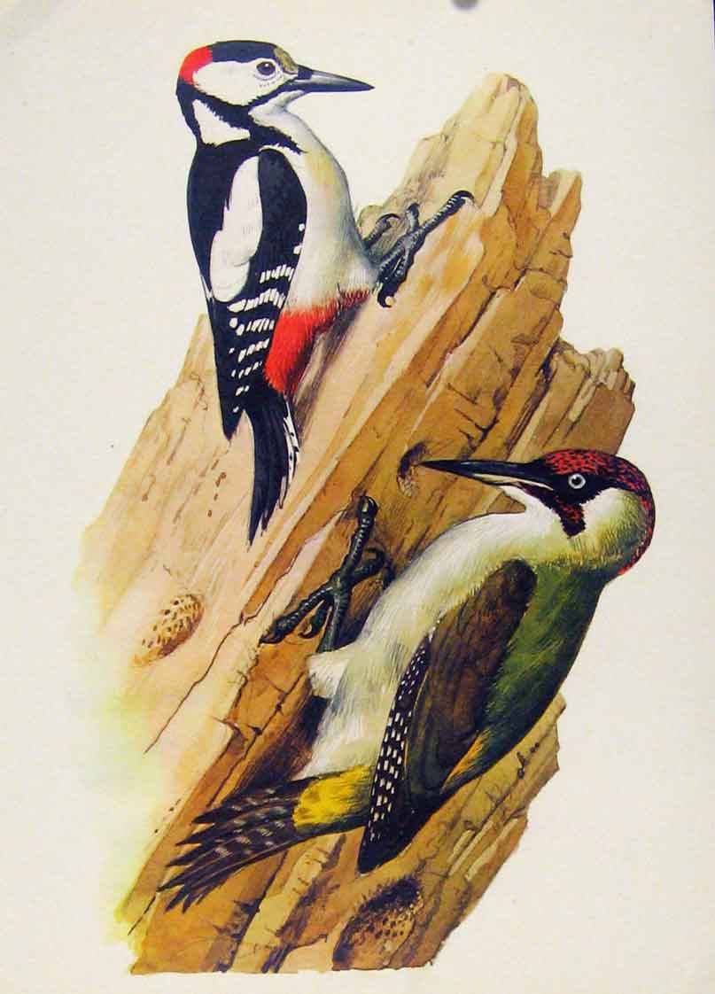 Print Great Spotted Green Wooldpecker Fine Art Bird 127261 Old Original