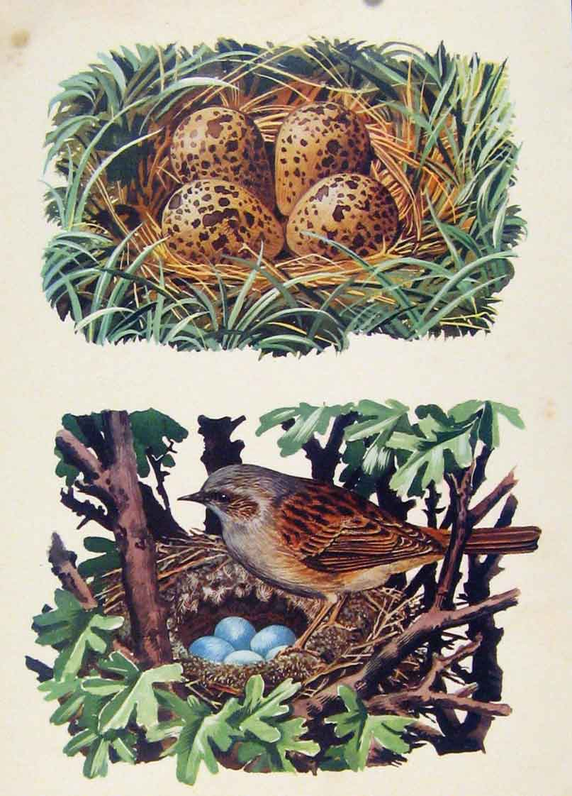Print Lapwings Nest Hedge Sparrows Color Bird Art 317261 Old Original