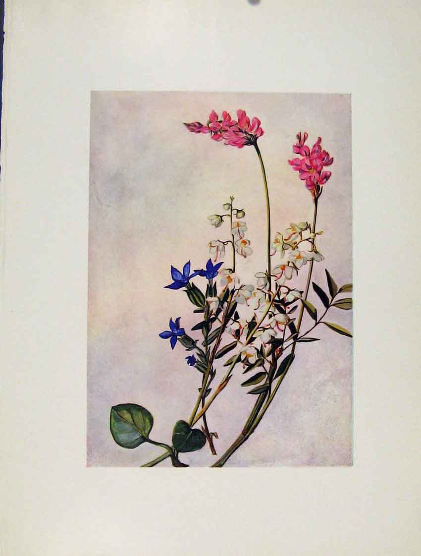 Print Onobrichis Pyrola Gentiana Flowers Plant 197271 Old Original