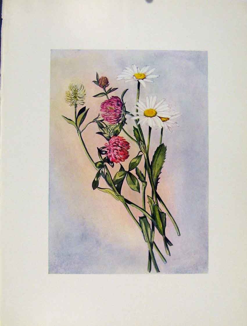 Print Chrysanthemum Trifolium Flowers Plant Sketch 237271 Old Original