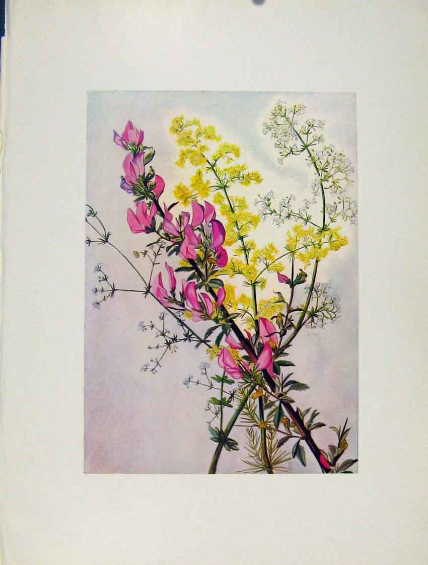 Print Flowers Plant Galium Verum Ononis Aparine 367271 Old Original