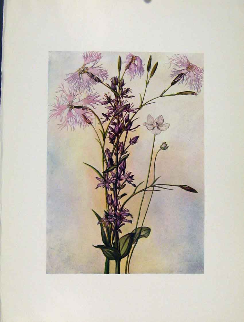 Print Superbus Perenis Sweertia Flowers Plant Sketch 437271 Old Original