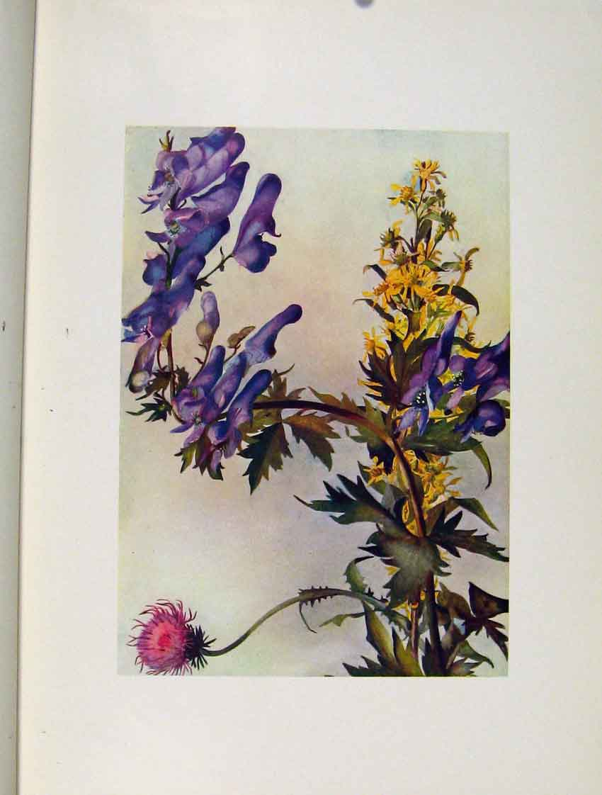 Print Defloratus Napellus Virga Aurea Flowers Plant Sketch 457271 Old Original