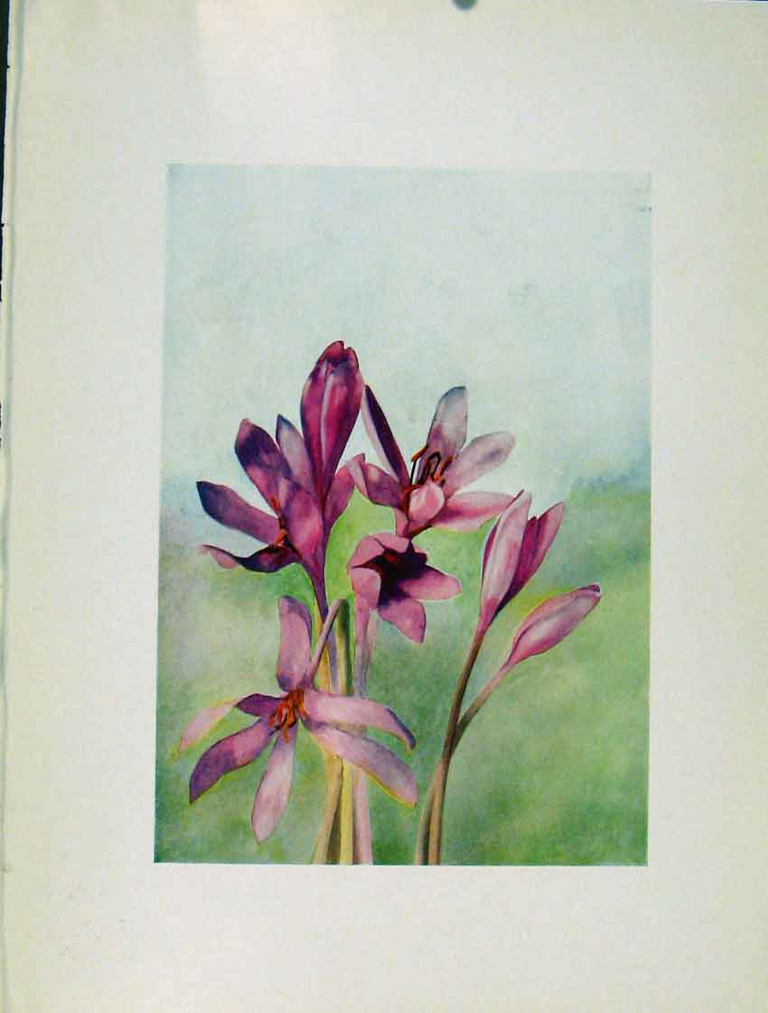 Print Colchicum Autumnale Sketch Flowers Plant 1910 487271 Old Original