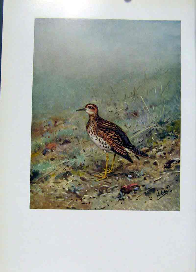 Print Upland Plover Bartrams Sandpiper Art Birds 067281 Old Original