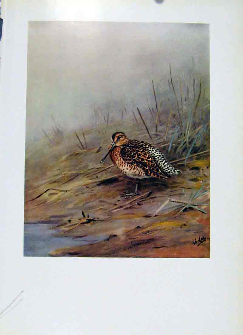 Print Bird Red Breasted Sandpiper Dowitcher Colored 117281 Old Original
