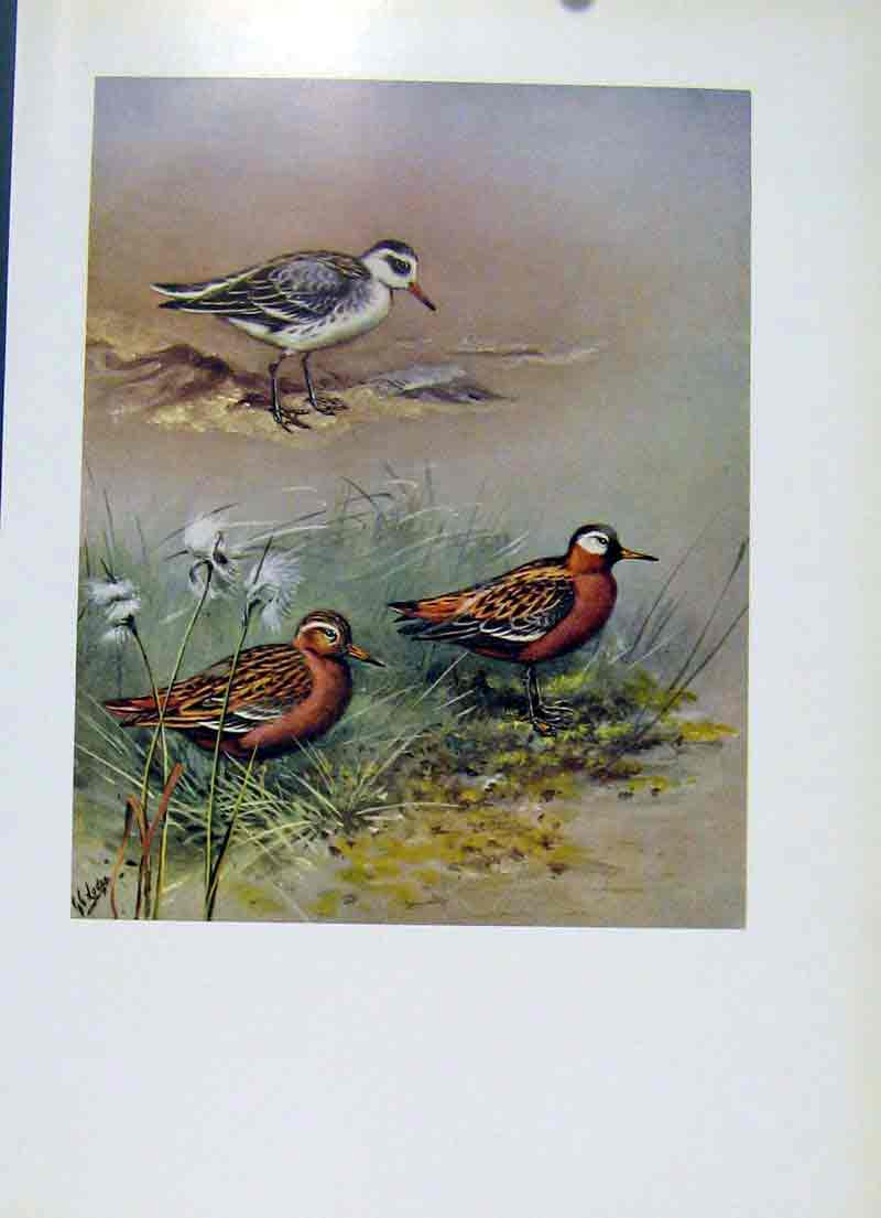 Print Bird Grey Phalarope Fine Art 1957 Female Male 127281 Old Original