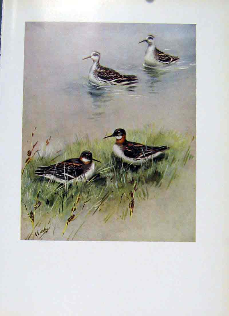 Print Bird Red Necked Phalarope Plumage Fine Art 137281 Old Original