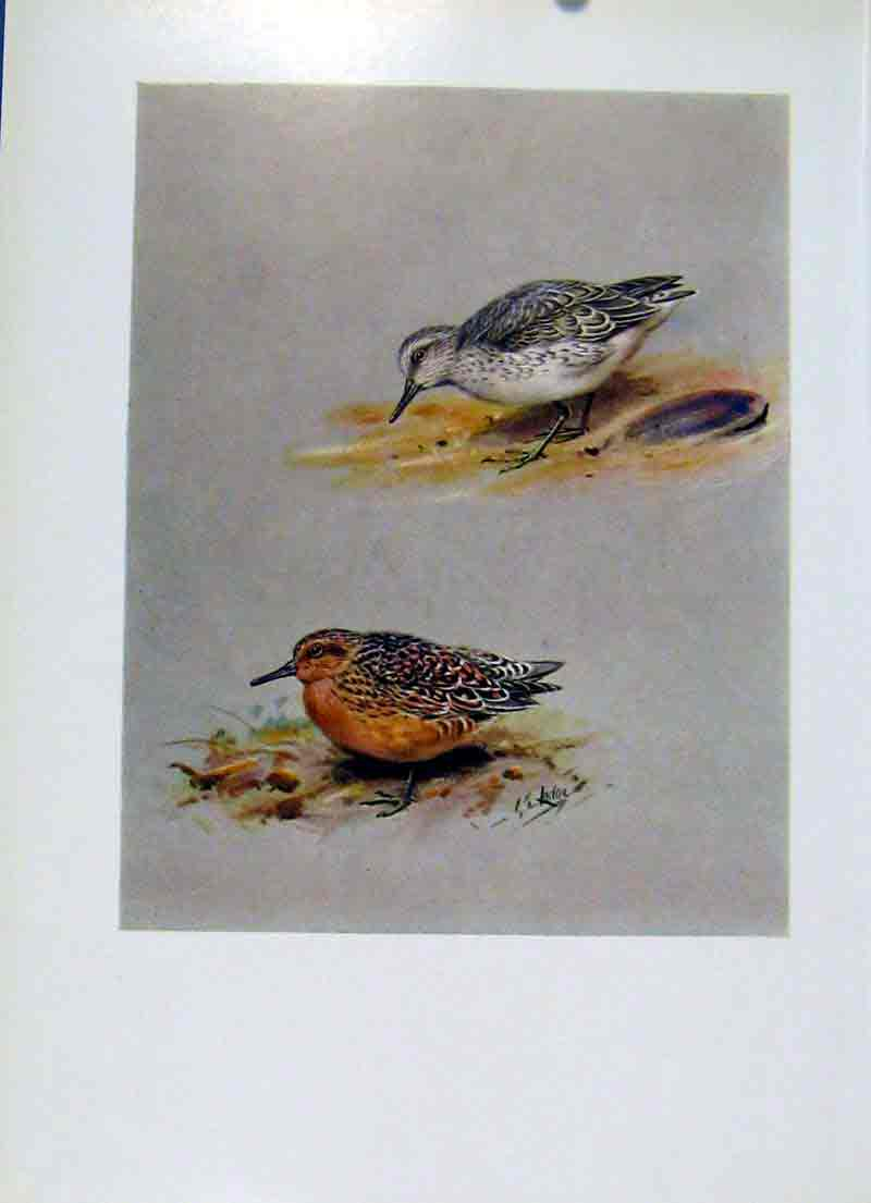 Print Birds Fine Art C1957 Knot Summer Plumage Bird 157281 Old Original