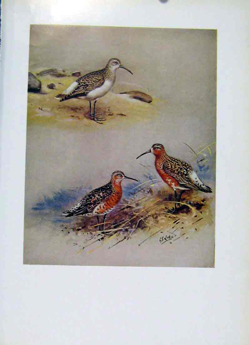 Print Birds Curlew Sanpiper Plumage Fine Art C1957 177281 Old Original