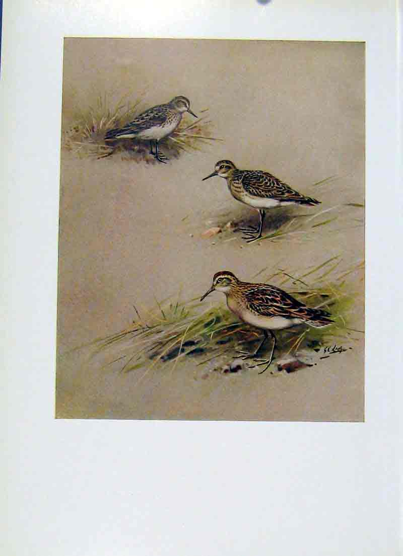 Print Semiplmated Sandpiper Bairds Sharp Tailed Birds 207281 Old Original
