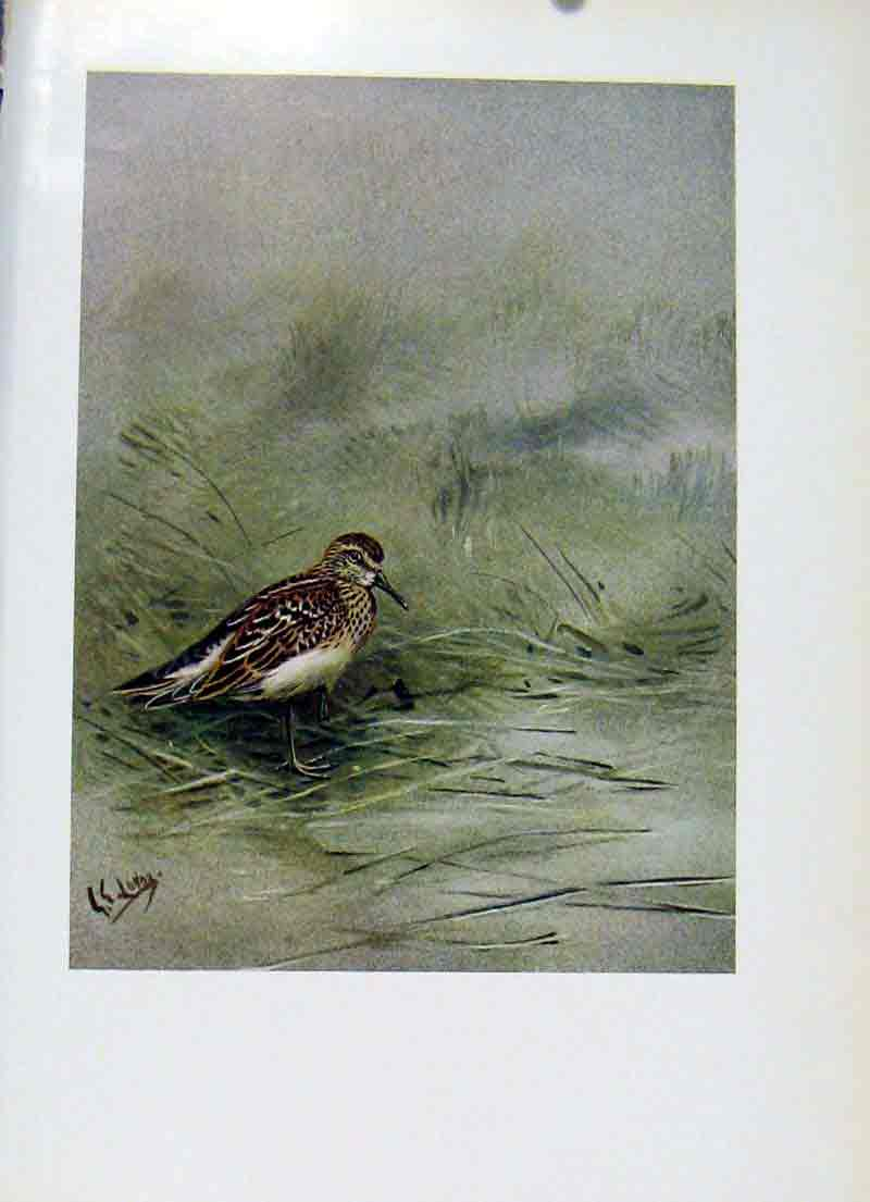 Print Birds Pectoral Sandpiper Fine Art C1957 Color 217281 Old Original