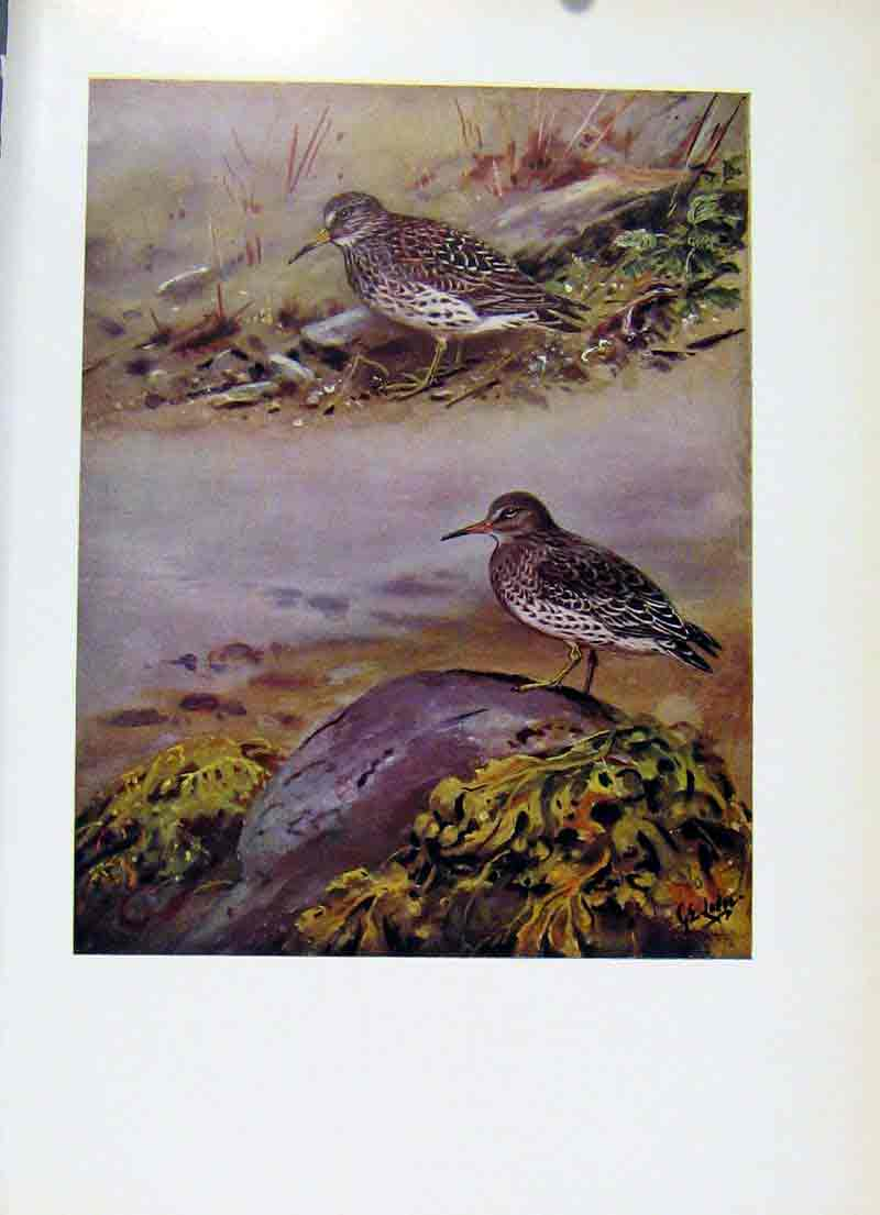 Print Purple Sandpiper Fine Art Birds Colored C1957 237281 Old Original