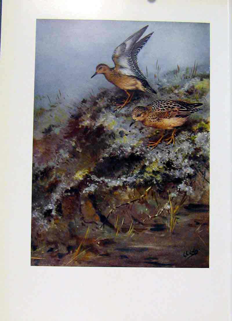 Print Buff Breasted Sandpiper Fine Art Birds Color 267281 Old Original