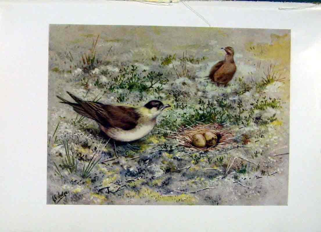 Print Richardsons Skua Fine Art C1957 Color 027281 Old Original