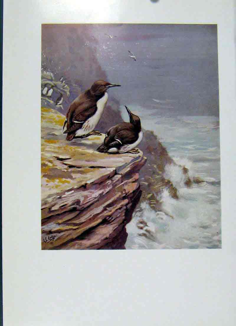 Print Southern Guillemot Fine Art Colored 1957 Bird 067281 Old Original