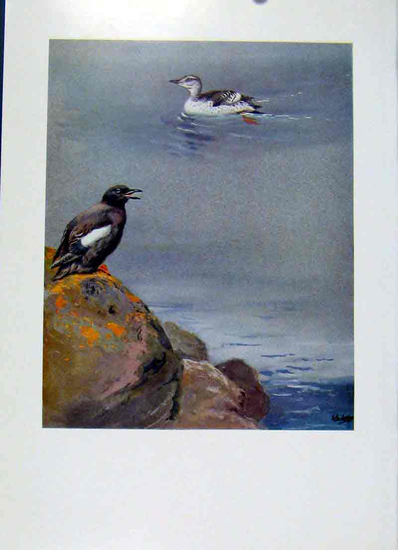 Print Birds Tystie Black Guillemot Color Fine Art 087281 Old Original