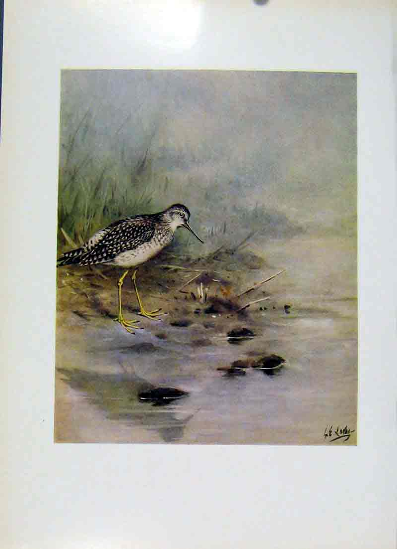 Print Lesser Yellowlegs Birds Plumage Fine Art 1957 057281 Old Original