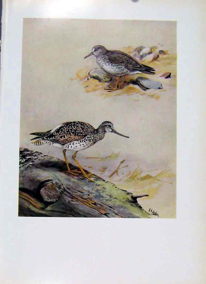 Print Grey Rumped Sandpiper Greater Yellowlegs Bird 067281 Old Original