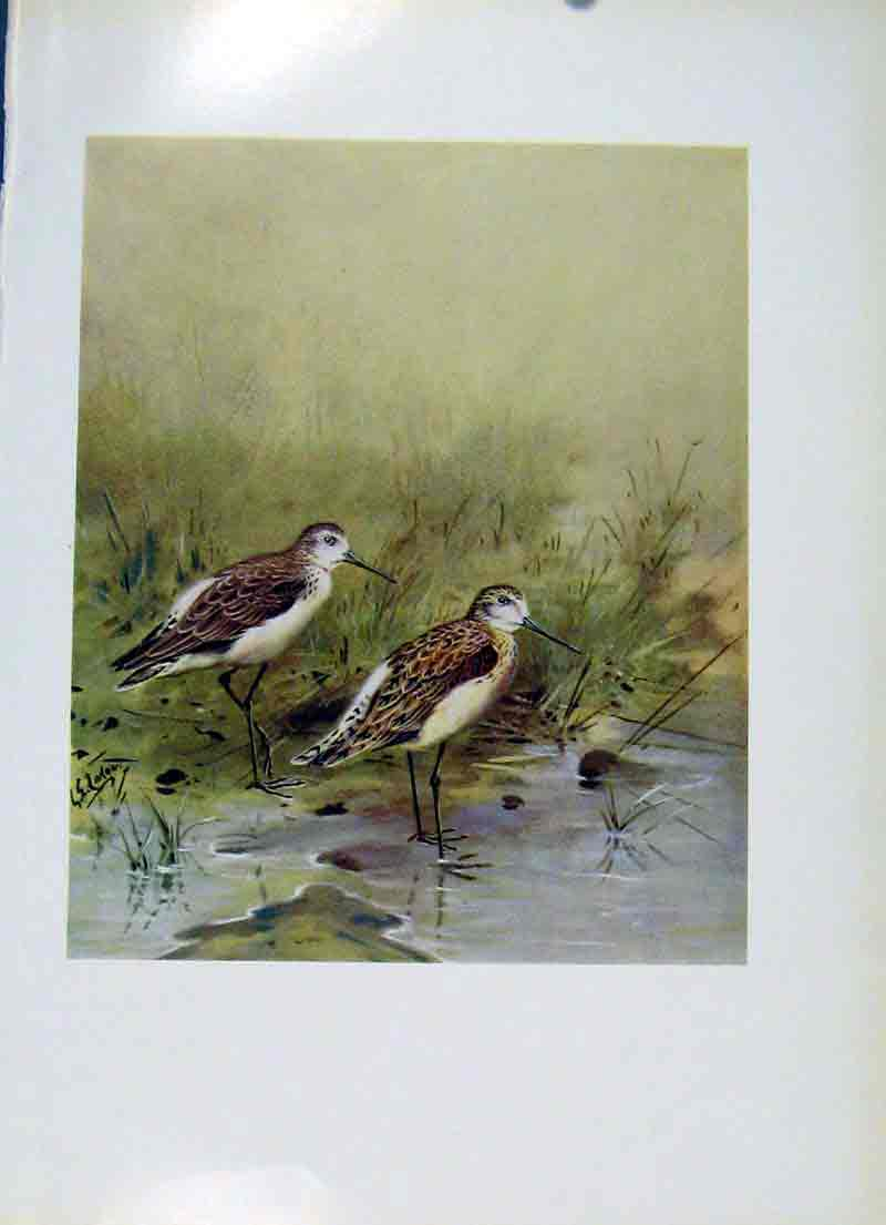 Print Fine Art Colored Marsh Sandpiper C1957 Birds 107281 Old Original