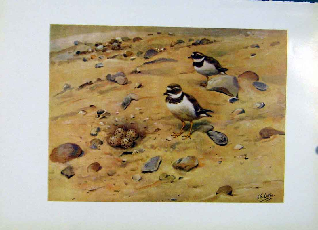 Print Ringed Plover Fine Art Bird C1957 Plumage 117281 Old Original