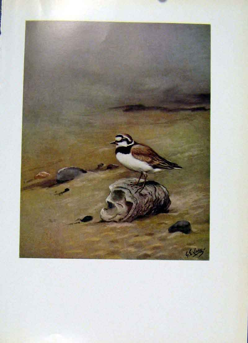 Print Birds Color Art C1957 Little Ringed Plover 127281 Old Original