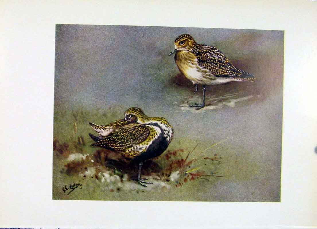 Print Golden Plover Color Fine Art Birds C1957 157281 Old Original