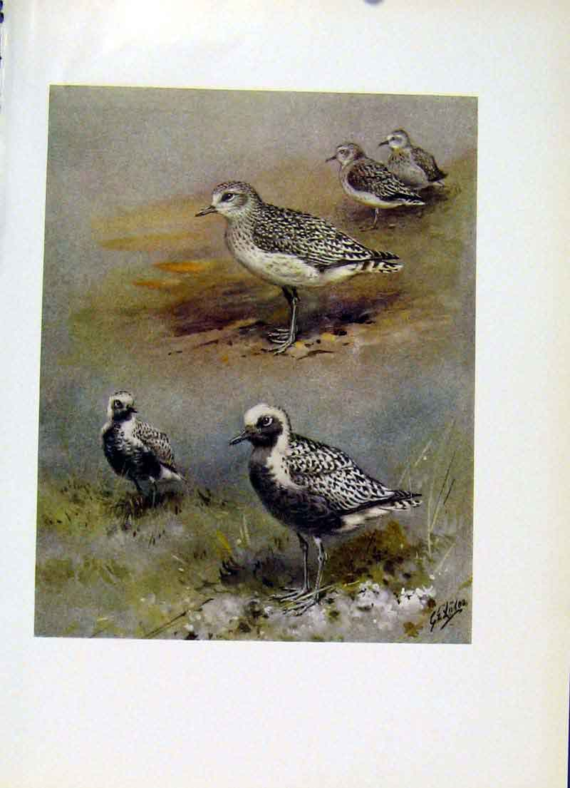 Print Grey Plover Fine Art Color 1957 Birds Plumage 177281 Old Original