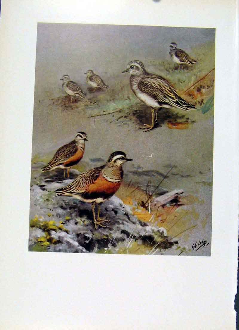 Print Color Fine Art C1957 Dotterel Bird Aging 187281 Old Original