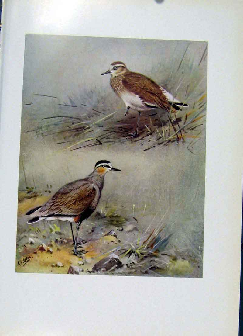 Print Sociable Plover Plumage Birds Fine Art C1957 197281 Old Original
