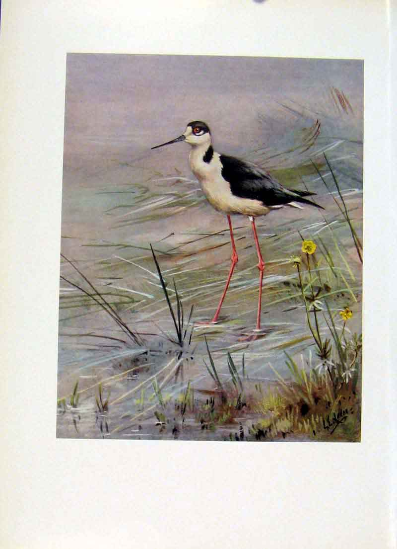 Print Black Winged Stilt Bird Fine Art Color C1957 217281 Old Original